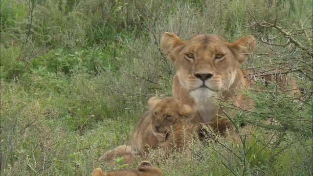 a lioness and lion cubs on the grass at serengeti national park, tanzania - carnivora stock videos and b-roll footage
