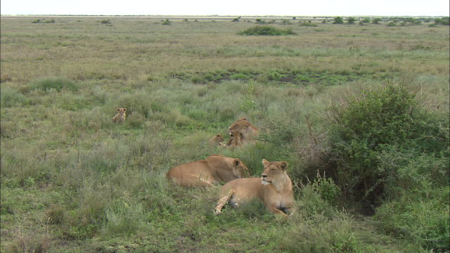 lioness and lion cubs on the grass at serengeti national park, tanzania - carnivora stock videos and b-roll footage