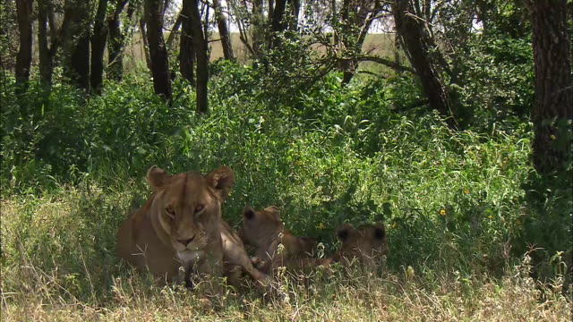 vidéos et rushes de lioness and lion cubs resting on the grass in serengeti national park, tanzania - être à l'ombre