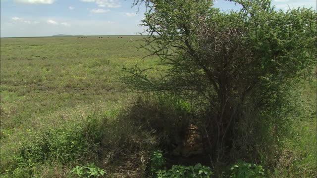 a lioness and lion cubs sitting down in the bush of serengeti national park, tanzania - kleine gruppe von tieren stock-videos und b-roll-filmmaterial