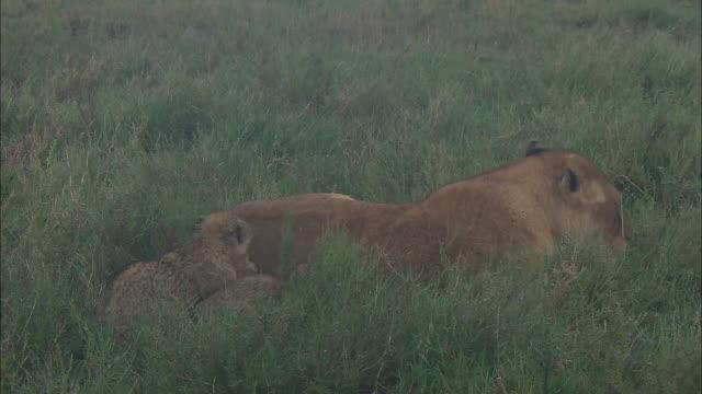 vídeos de stock e filmes b-roll de a lioness and lion cubs sitting down on the grass in serengeti national park, tanzania - cara para baixo