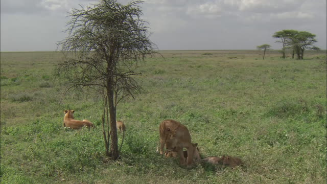 a lioness and lion cubs take a rest under the tree in serengeti national park, tanzania - under her feet stock videos & royalty-free footage