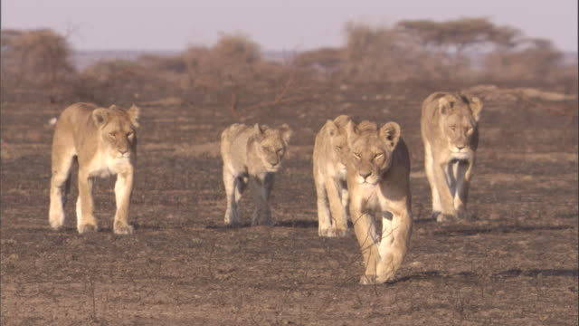 A lioness and lion cubs walk over scorched earth in the Serengeti. Available in HD.