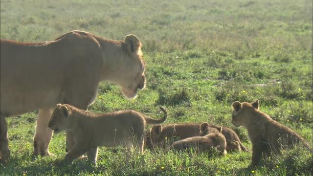 vídeos de stock e filmes b-roll de a lioness and lion cubs walking on the grass in serengeti national park, tanzania - cara para baixo