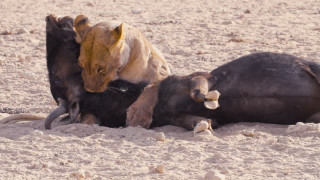 lioness at a kill - antelope stock videos & royalty-free footage