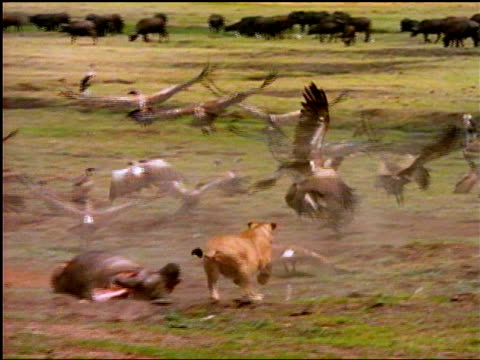 A lioness attacks a flock of vultures feeding on a carcass.  Okavango Delta in northern Botswana, Africa