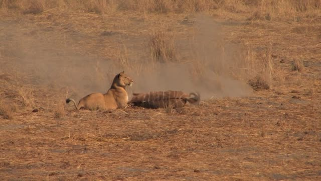 A lioness attacks and kills a young kudu on the plains of Africa. Available in HD.