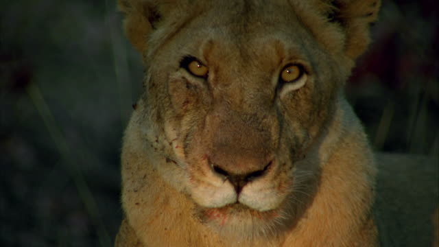 a lioness blinking available in hd. - cat blinking stock videos & royalty-free footage