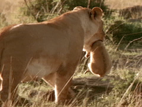 a lioness carries a cub in her mouth - lion cub stock videos & royalty-free footage