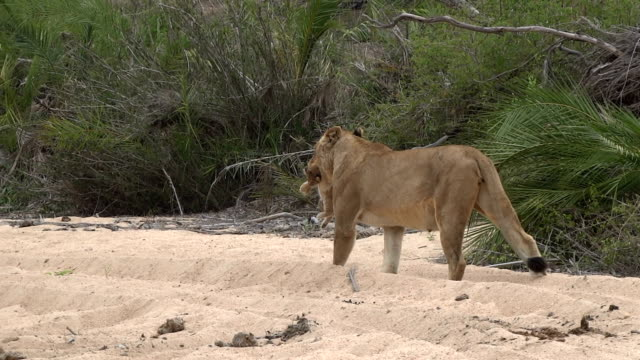 lioness carries tiny cub in her mouth to new den site in kruger national park, south africa - krüger nationalpark stock-videos und b-roll-filmmaterial