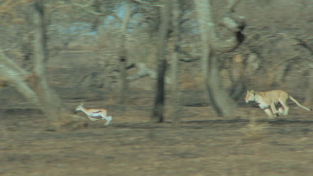 a lioness chases a pair of gazelles. - escaping stock videos & royalty-free footage