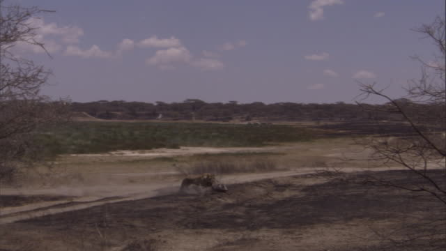vídeos de stock, filmes e b-roll de a lioness chases a warthog in the serengeti. available in hd. - javali africano