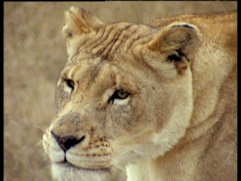lioness chases zebra, then grabs and attacks it on savanna - bbc archive stock-videos und b-roll-filmmaterial
