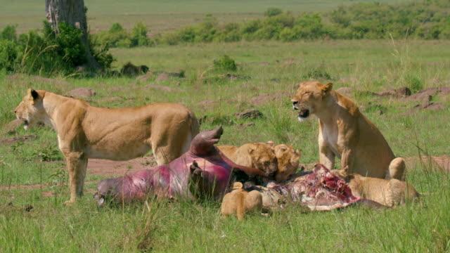stockvideo's en b-roll-footage met lioness & cub eating hippo maasai mara, kenya, africa - nijlpaard