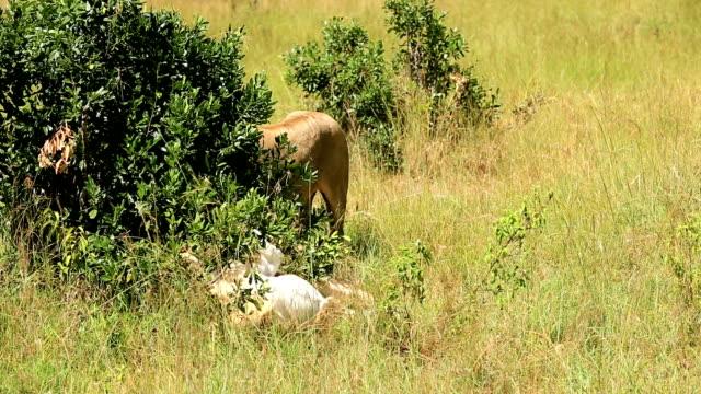 lioness desire - desire stock videos & royalty-free footage