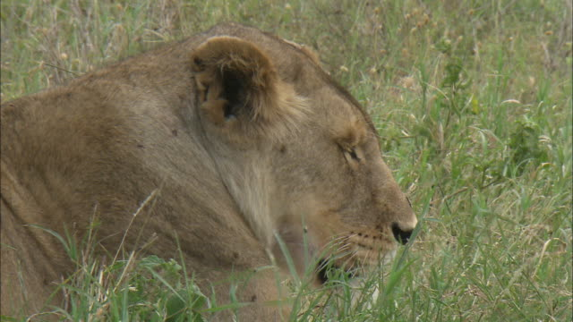 a lioness face in the bushes at serengeti national park, tanzania - carnivora stock videos and b-roll footage