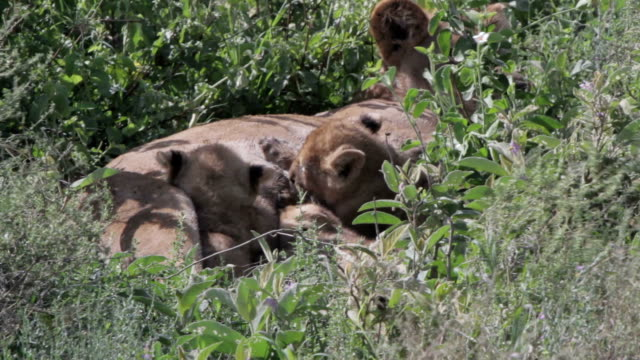 lioness feeding her cubs, closeup