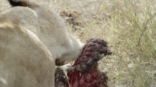 lioness feeds on ribs, juvenile lion carries part of a carcass past camera. - feeding stock videos & royalty-free footage
