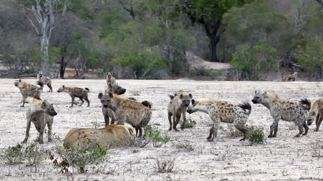 A lioness fights off a clan of circling and attacking hyena in the Kruger National Park, South Africa