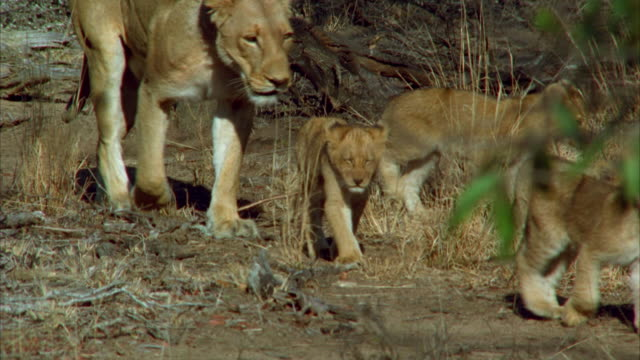 A lioness follows behind her cubs on a path on the savanna. Available in HD.