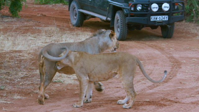 lioness greets lion on track samburu  kenya  africa - two animals stock videos and b-roll footage
