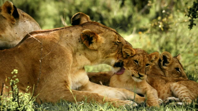lioness grooming her cubs - animal family stock videos & royalty-free footage