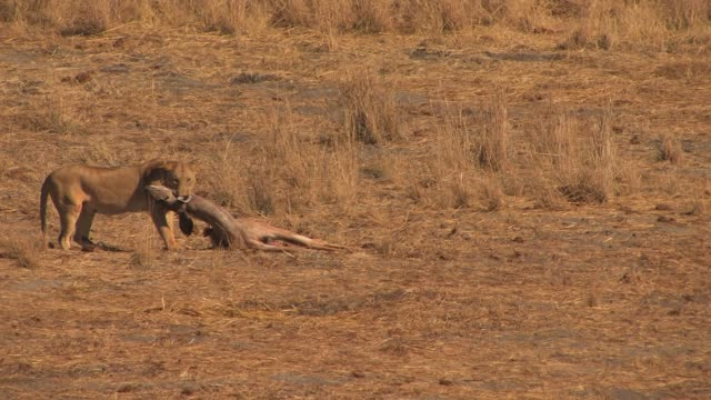 A lioness holds onto her kill on the plains of Africa. Available in HD.
