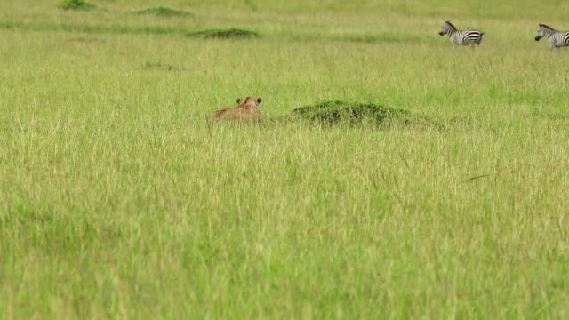 Lioness Hunting / Preying at wild