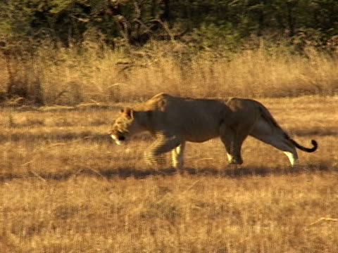 lioness hunting - hunting stock videos & royalty-free footage