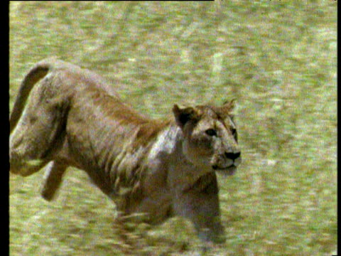 Lioness hunts buffalo