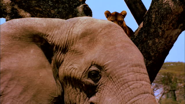 lioness in a tree watches an elephant pass. - elephant stock videos & royalty-free footage