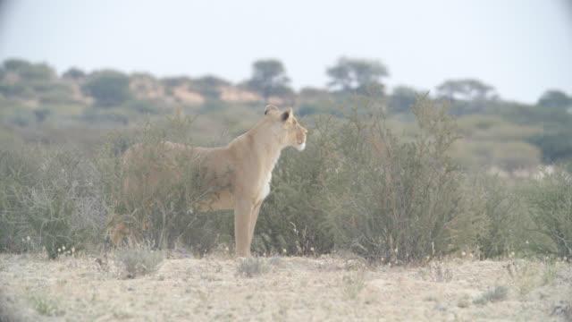 WS Lioness (Panthera leo) in savannah / Kgalagadi Transfrontier Park, Kgalagadi District, South Africa