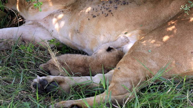 lioness is suckling her lion cub - video stock videos & royalty-free footage