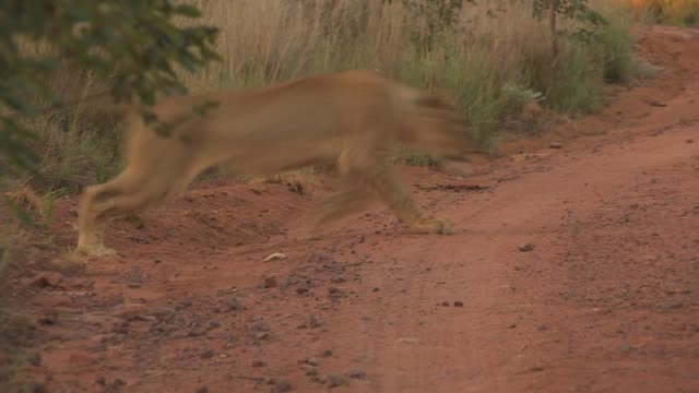 A lioness leaps onto a gravel road from the brush. Available in HD.