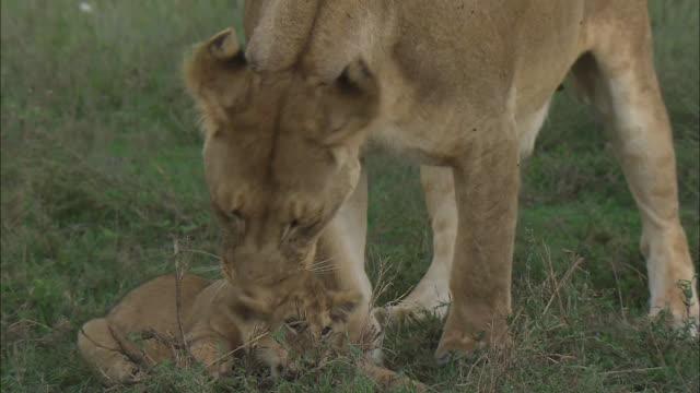 vídeos de stock, filmes e b-roll de a lioness licking her baby on the grass in serengeti national park, tanzania - bigode de animal