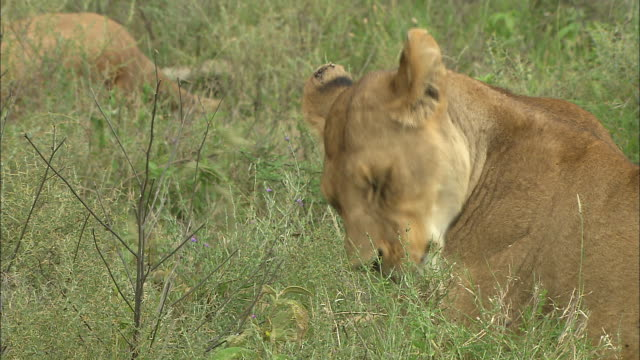 a lioness licking her body at serengeti national park, tanzania - carnivora stock videos and b-roll footage
