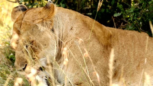 Lioness licking paw and resting after eating