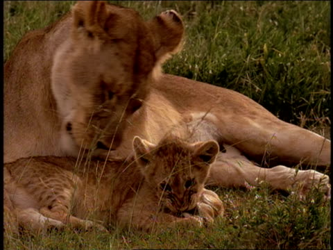 stockvideo's en b-roll-footage met a lioness licks her cubs in the wild of tanzania, africa. - welp