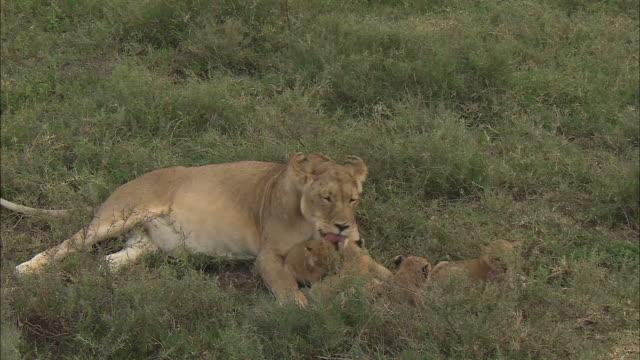 vídeos y material grabado en eventos de stock de a lioness licks its baby in serengeti national park, tanzania - grupo pequeño de animales