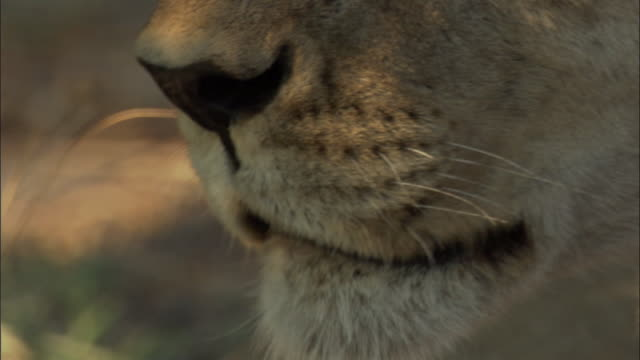 lioness licks its lips in shade, botswana - maul stock-videos und b-roll-filmmaterial