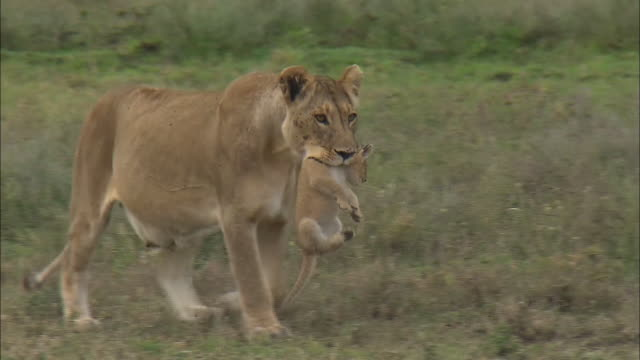 a lioness lifts up a lion cub with its mouth on the grass in serengeti national park, tanzania - löwe großkatze stock-videos und b-roll-filmmaterial