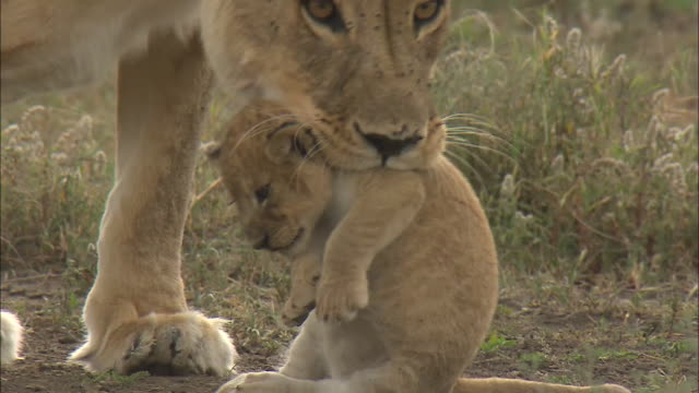 a lioness lifts up a lion cub with its mouth on the grass in serengeti national park, tanzania - young animal stock-videos und b-roll-filmmaterial