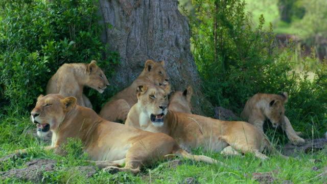 lioness & lion cubs in shade maasai mara, kenya, africa - panting stock videos & royalty-free footage