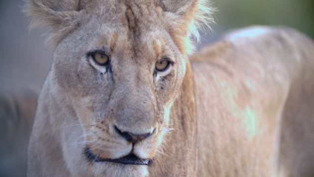 cu lioness (panthera leo) looking away / kruger national park/ mpumalanga/ south africa - mpumalanga province stock videos and b-roll footage