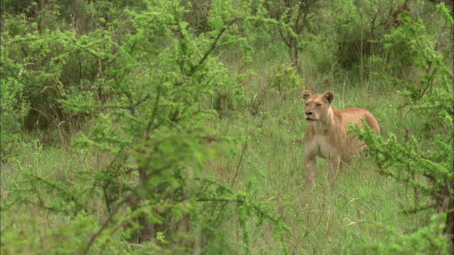 A lioness looks about alertly as she prowls through the bushes. Available in HD.