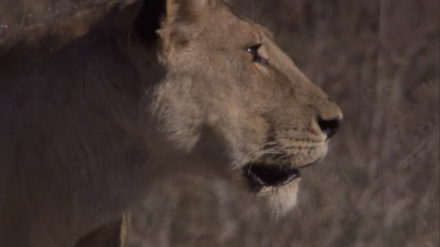 a lioness looks around and pants then stalks through grass. available in hd. - sticking out tongue stock videos & royalty-free footage