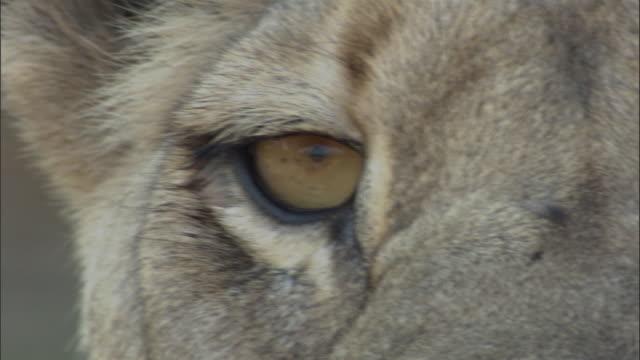 Lioness looks around, Botswana