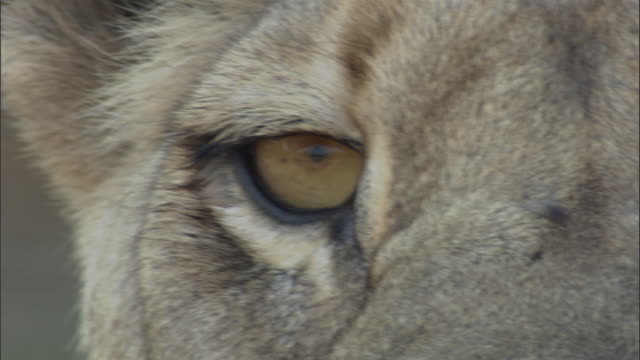 lioness looks around, botswana - animal eye stock videos and b-roll footage