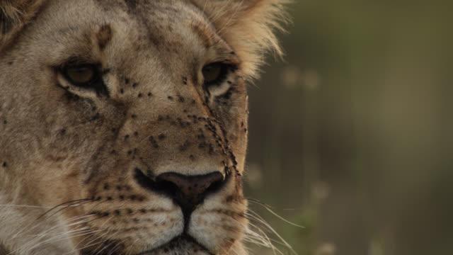 Lioness (Panthera leo) looks around on savannah, Kenya