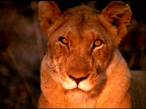 Lioness looks at camera, Botswana